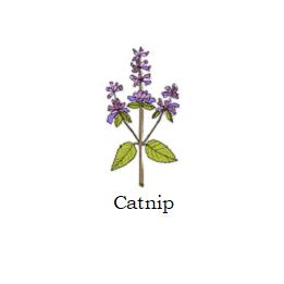 herb catnip