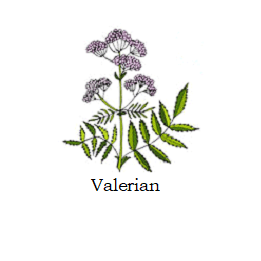 herb valerian