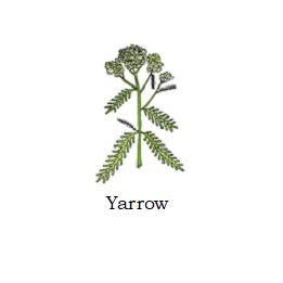 herb yarrow