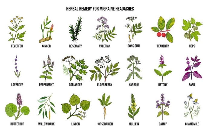 Best medicinal herbs for migraines relief. Hand drawn botanical vector illustration