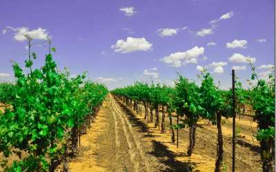 The vineyards are greening up after the much needed rains
