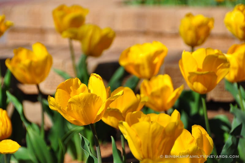 15.03.24_YellowTulips_013-web