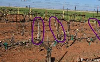 Early Vineyard Buds of Spring