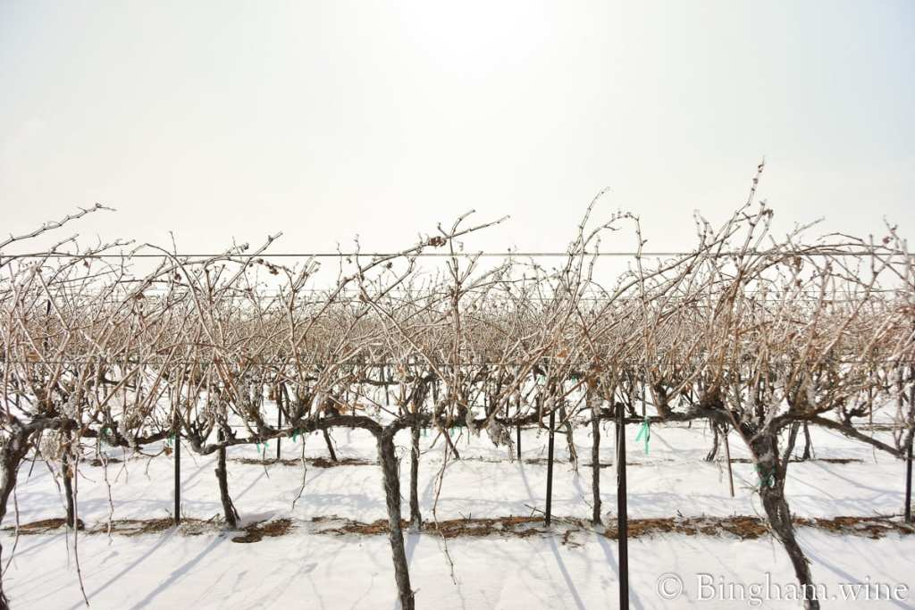 Ice and snow on grapevines in Bingham Family Vineyards