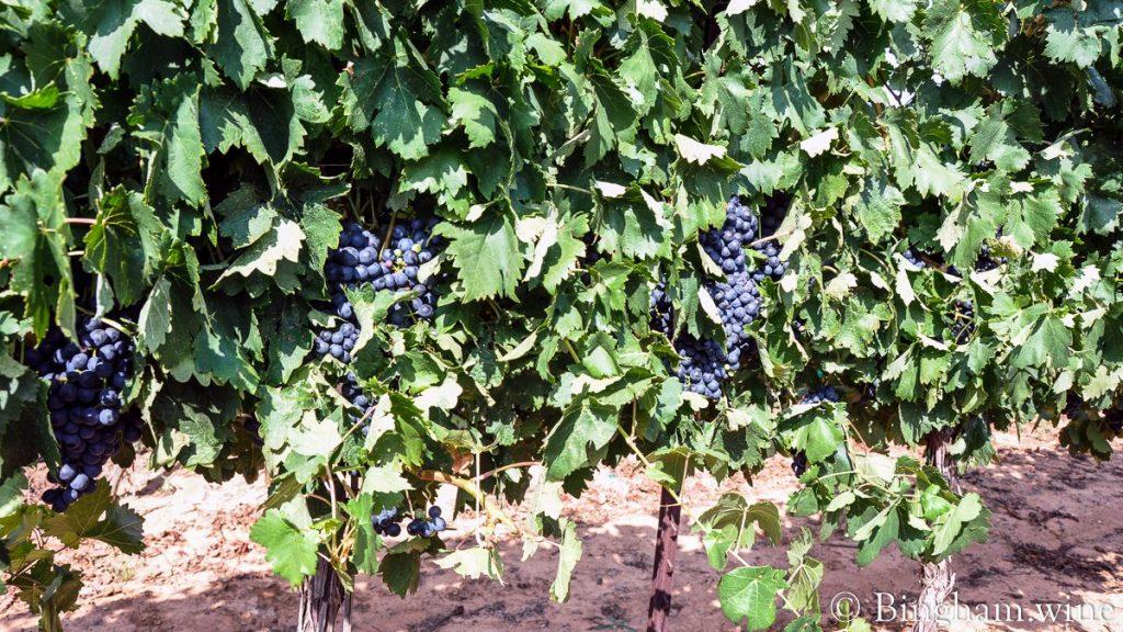 Tempranillo grapes ripening on the vines at Bingham Family Vineyards.