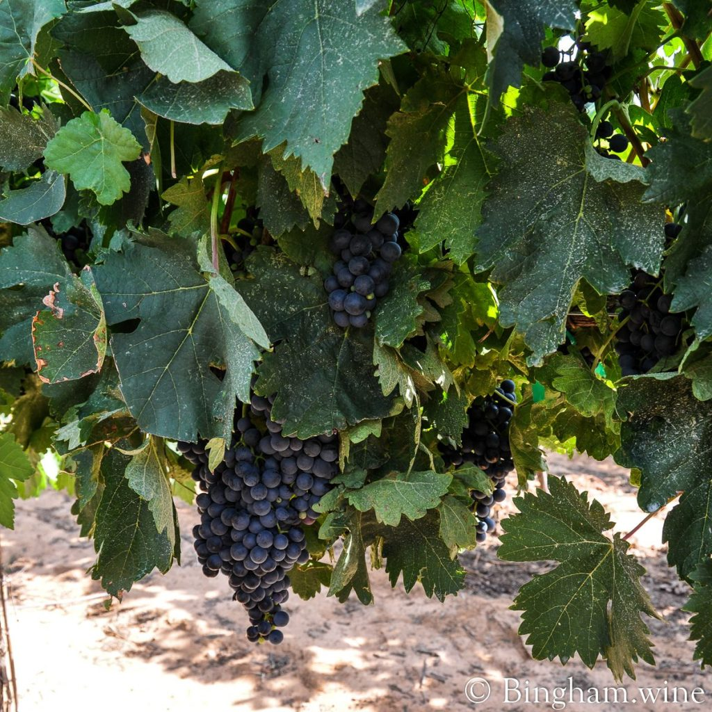 And rows and rows of Texas Tempranillo!