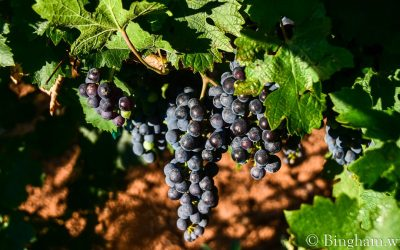 Vineyards Update for August 20, 2021