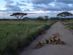 Löwe im Serengeti