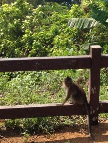 Affen auf Koh Chang