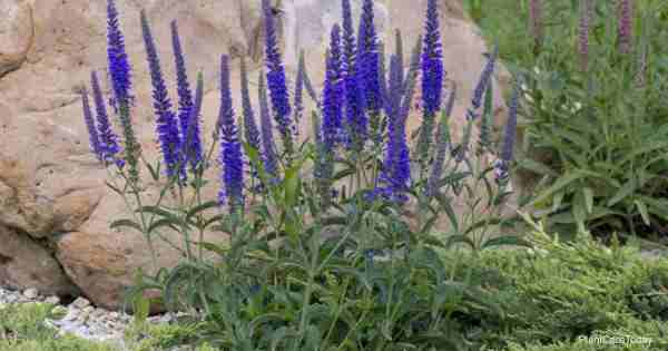How To Grow Pride Of Madeira