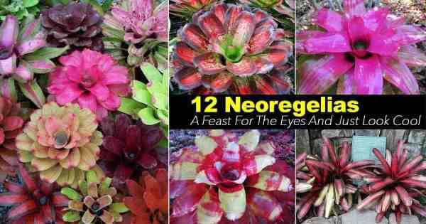 Neoregelia Care: 17 Tips For Growing The Neoregelia Bromeliad