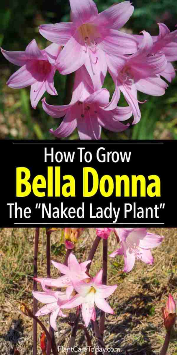How To Grow The Amaryllis Belladonna Lily Bulb