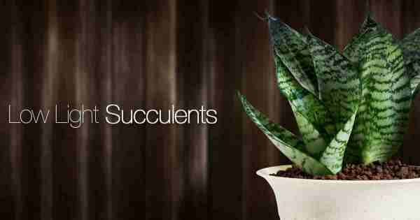 30 Best Low Light Succulents For Growing Indoors