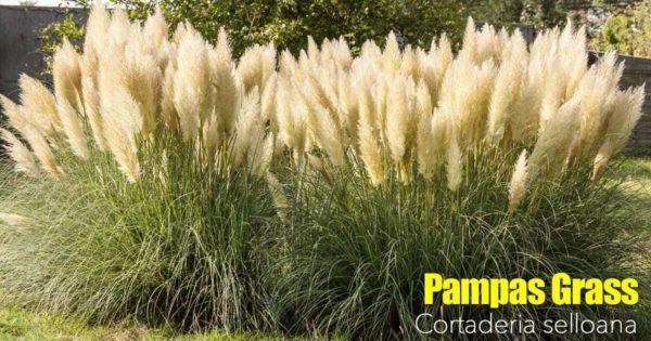 Pampas Grass Care
