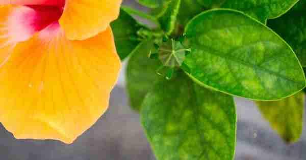 rose of sharon leaves turning yellow