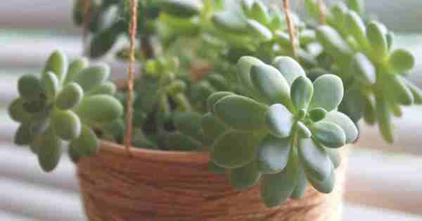 Pachyveria Care: Growing and Caring for Pachyveria Plants