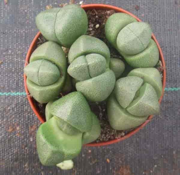 Pleiospilos Nelii: Split Rock Succulent Growing and Care Tips