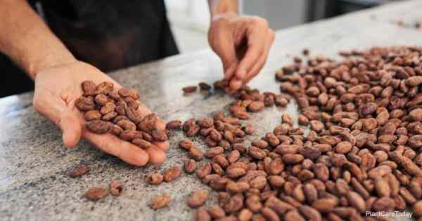 Cocoa Bean Mulch: Information On Cocoa Hull Mulch For The Garden