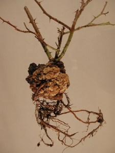 crown gall disease bio care technology