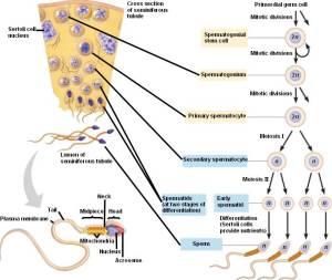 PPT  Spermatogenesis vs Oogenesis PowerPoint Presentation  ID:465507