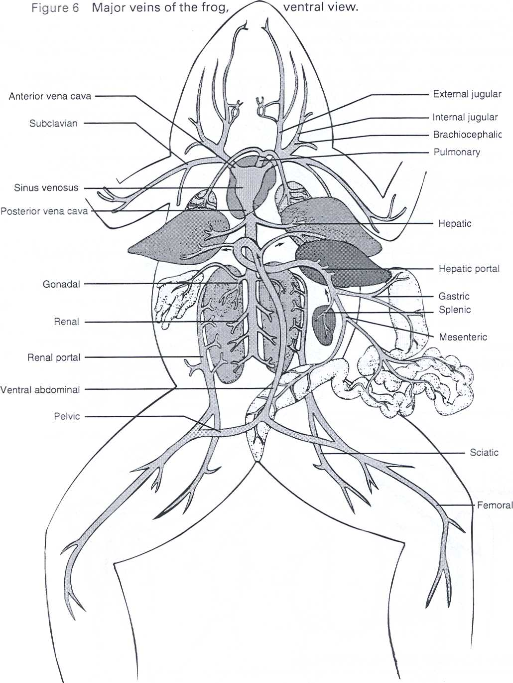 Frog Heart Diagram Back View