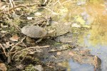 The turtle makes a beeline for the water's edge.