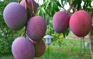 Bioalgarrobo mango ecológico