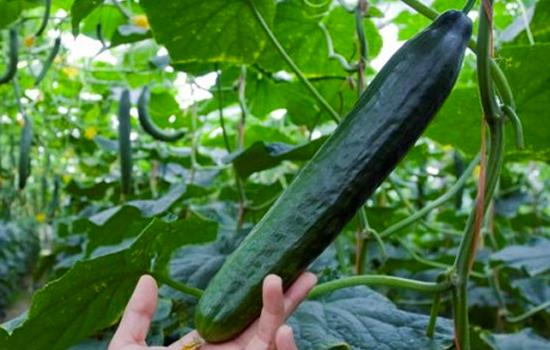 Bioalgarrobo pepino holandés ecológico