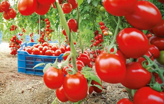 Bioalgarrobo tomate ecológico
