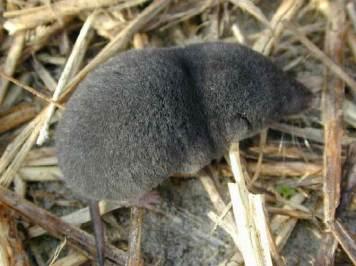 Mussaranya (Soricidae). Font: Viquimèdia