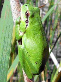 Reineta (Hyla meridionalis)