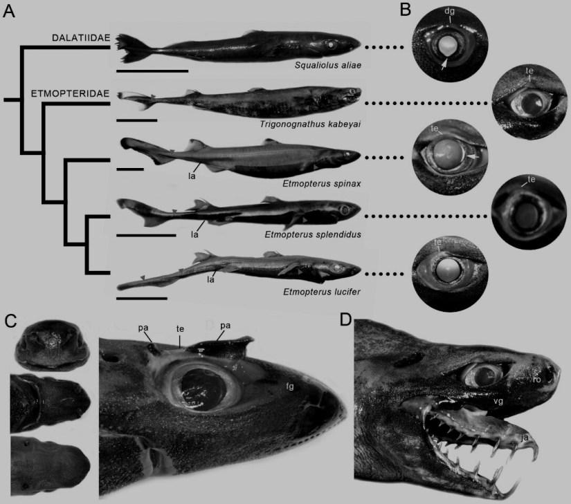 Trigonognathus kabeyai