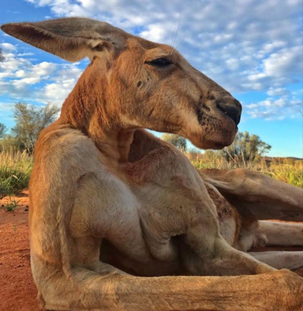 В Австралии погиб самый известный в мире кенгуру