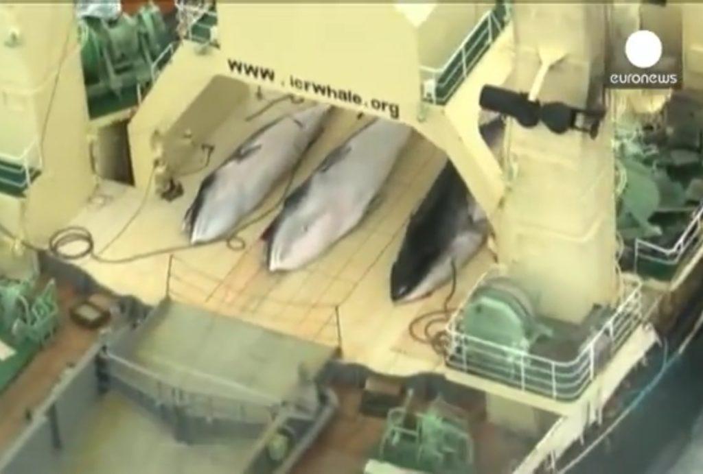 Япония планирует в 2019 году возобновить охоту на китов