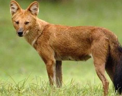 Красный волк как хищный представитель семейства псовых