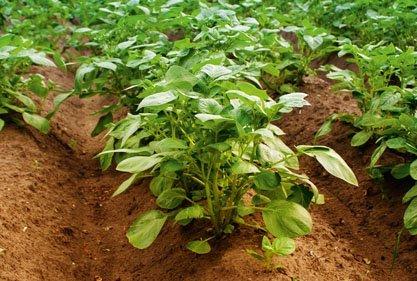 Biocare Kartoffelanbau