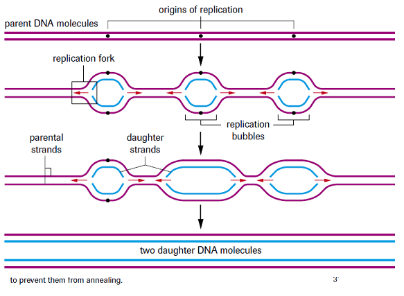 Replication bubble