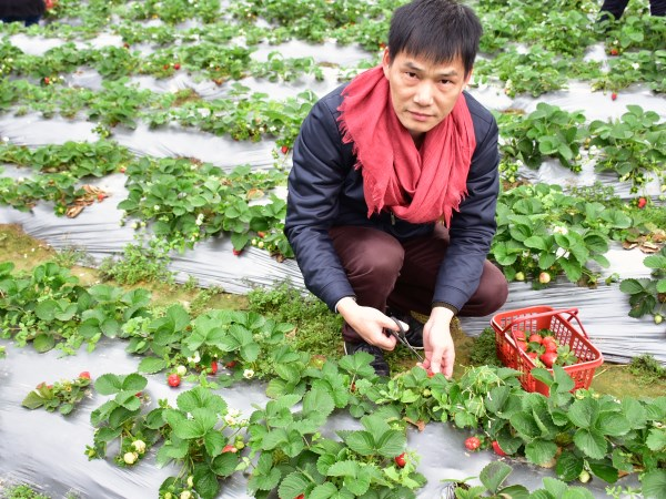 2018-strawberry-1.JPG
