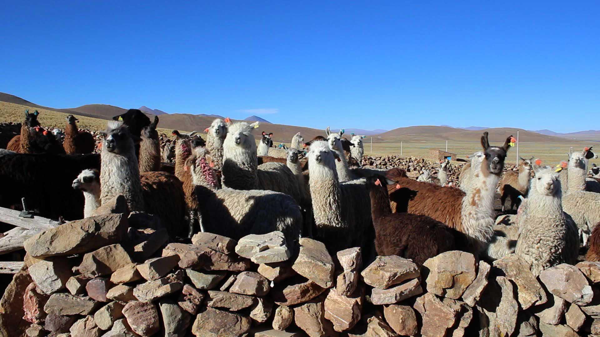 La introducción del ganado camélido en Yunchará