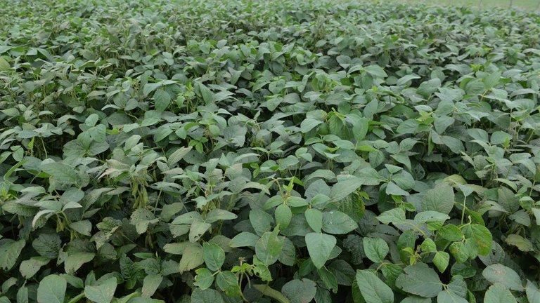 cultivo-soja-argentina