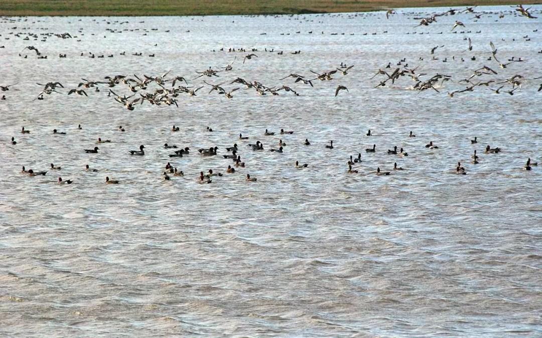 Envol d'anatidés sur les prairies inondées de la réserve naturelle Michel Brosselin de Saint-Denis-du-Payré