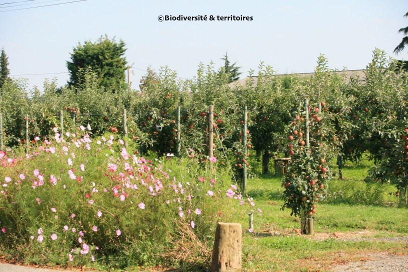 enherbement de vergers et gestions des bordures par fleurissement