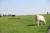 pâturage plurispécifique (bovin, équins (âne, cheval) (Ferme des Sablons, Génicourt, 95)