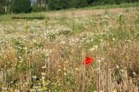 colonisation par la biodiversité sauvage d'un champ de blé (Marines, Val d'Oise, France)