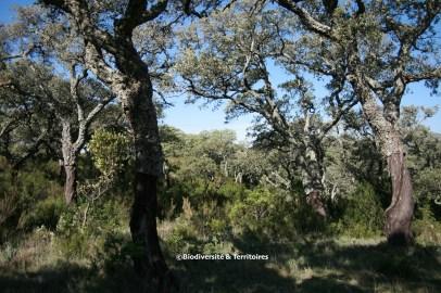 Chênes lièges, Parc Naturel de Los Alcornocales, Andalousie (Espagne)