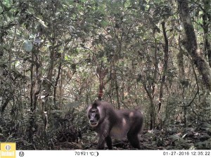 A male Drill monkey looks imposingly at a BI camera trap inside the Caldera Lupa, Equatorial Guinea, January 2016 (Photo by BI, Bushnell field cameras).