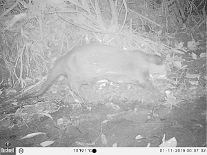 The rare Congo clawless river otter traverses a stream at night inside primary forest in Oyala, Equatorial Guinea in January 2016 (Photo by BI, Bushnell field cameras).