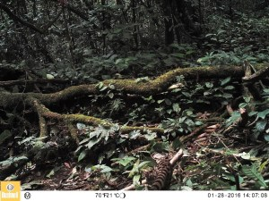 Central African Oyan inside the Caldera Luba, Equatorial Guinea, January 2016 (Photo by BI, Bushnell field cameras).