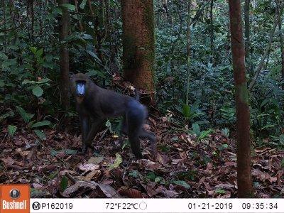 Male mandrill in Equatorial Guinea caught on camera trap