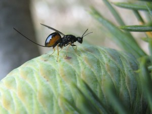 Photo of megastigmus schimitscheki cedar wasp, an invasive species on a pine cone